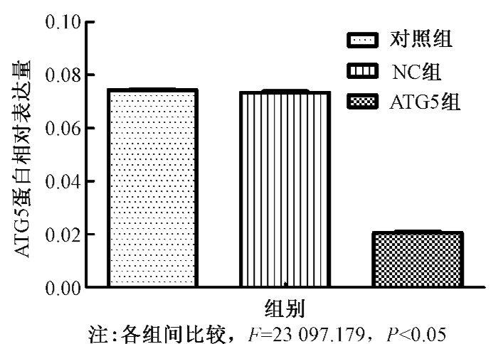 ,从而进一步研究自噬对鼻咽癌CNE-2细胞放射敏感性的影响。其中,应用CCK-8实验检测细胞经不同剂量射线照射前后的增殖与存活情况,结果显示,抑制自噬相关基因ATG5的表达后,与未转染的对照组和阴性对照NC组相比,CNE-2细胞的存活率明显降低,以细胞在不同剂量的存活率绘制细胞生存曲线,也可见下调ATG5的表达后可以增加鼻咽癌CNE-2细胞的放射敏感性。另外,流式细胞术检测各实验组细胞照射前后的凋亡情况,可知经6 Gy射线照射后,与NC组及对照组相比,ATG5组凋亡率明显升高,提示6 Gy照射时抑制ATG